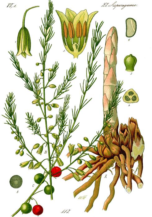 Asparagus-farsalia