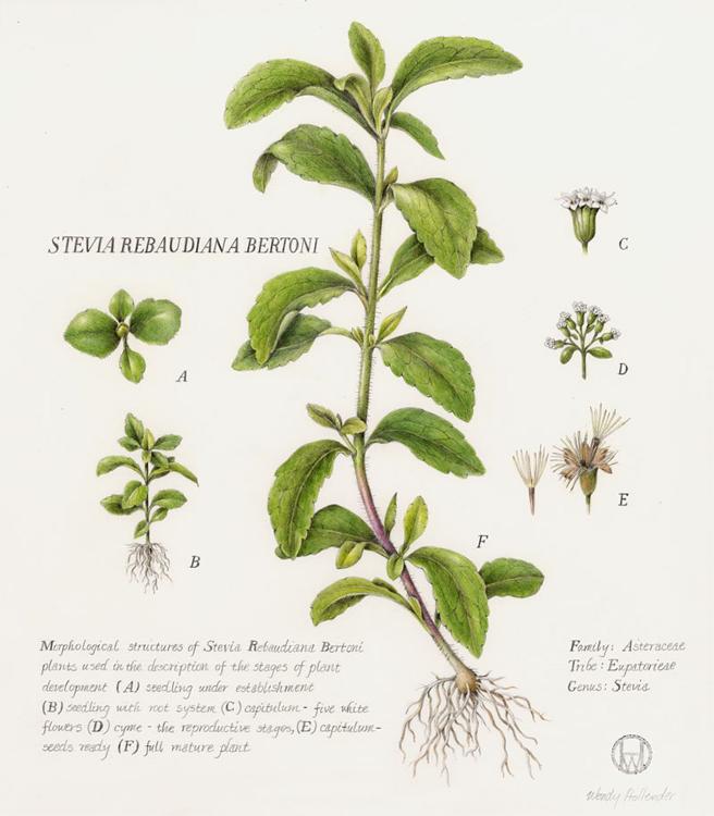farsalia-stevia-2